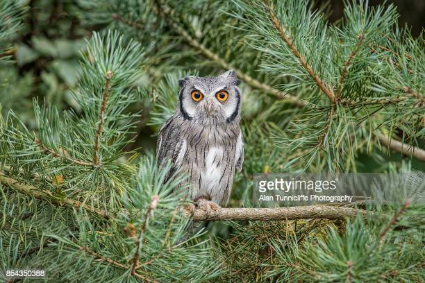 white faced scops owl - perching stock pictures, royalty-free photos & images