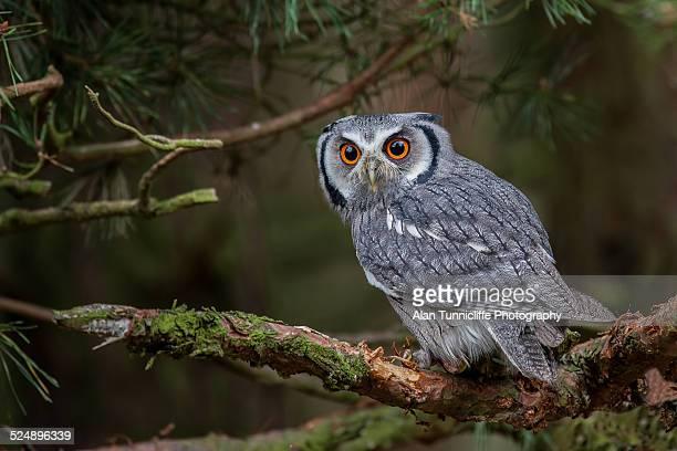 White faced scops owl Ptilopsis leucotis