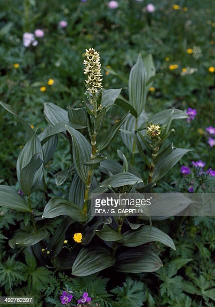 White False Hellebore , Melanthiaceae, Hohe Tauern National Park, Austria.