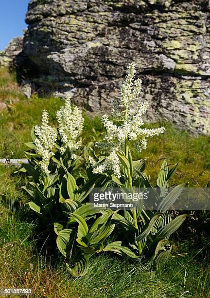 white false hellebore -veratrum album-, saualpe alp, carinthia, austria - バイケイソウ ストックフォトと画像