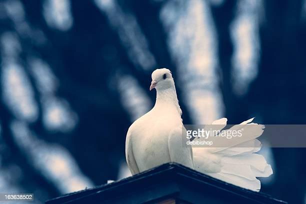 gros plan de paon blanc colombe & regardant l'objectif - colombe photos et images de collection