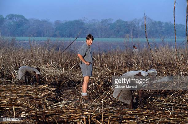 White Farmer Supervising Sugar Cane Harvest in Zimbabwe
