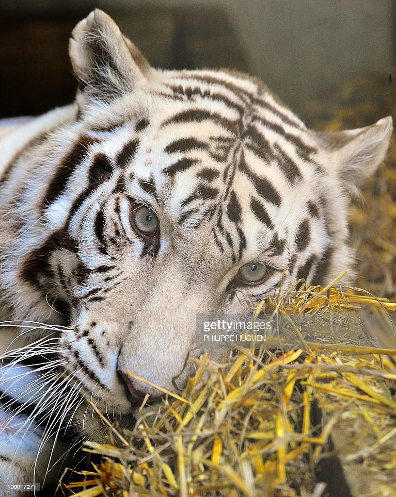 A white female tiger, named Radjah, lays