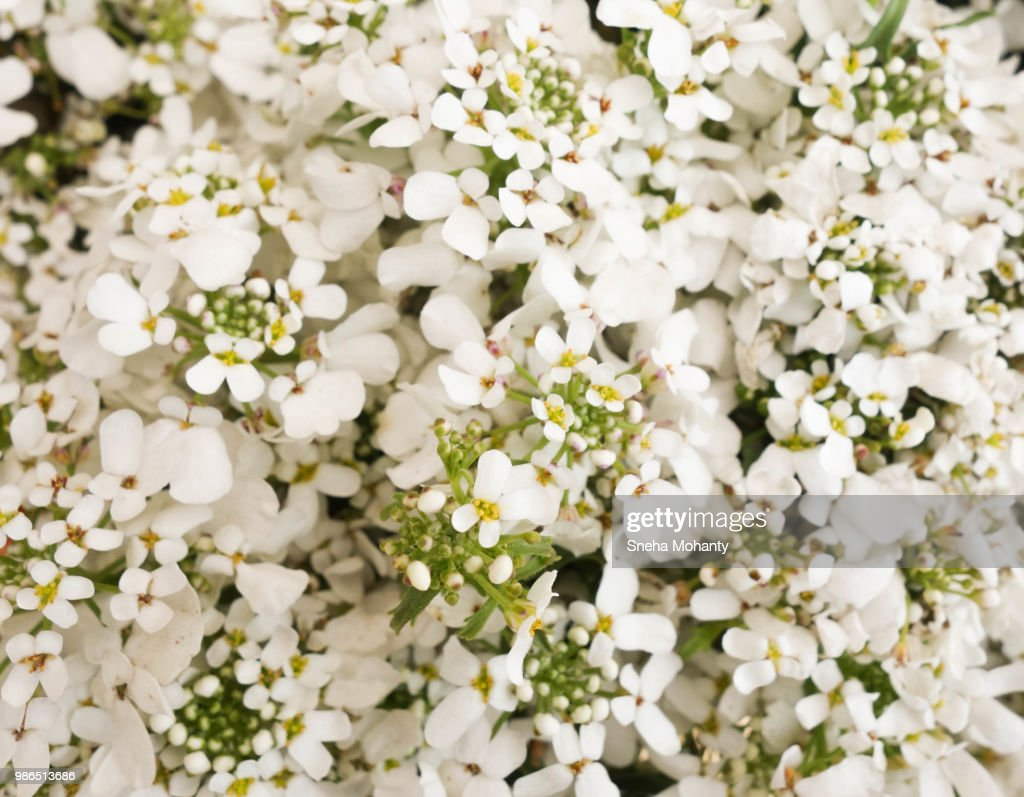 White Filler Flowers Stock Stock Photo Getty Images