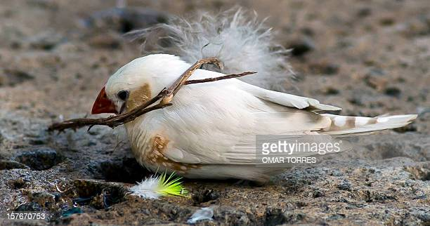 A White Finch collects a small branch for his nest at the Abraham Lincoln park in Mexico City on December 5 2012 AFP PHOTO/OMAR TORRES