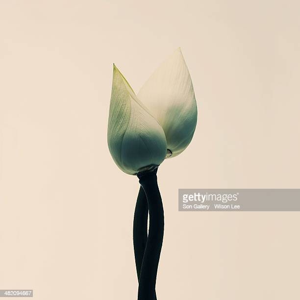 white flower blossom - bud stock pictures, royalty-free photos & images