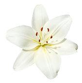 white flower Lilium candidum isolated