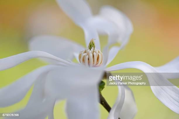 white flower of magnolia stellata, sometimes called the star magnolia - magnolio fotografías e imágenes de stock