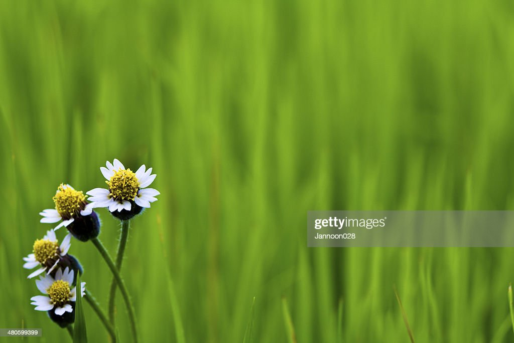 White flower on Green paddy rice : Stock Photo