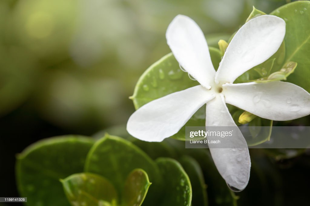 White Flower : Stock Photo