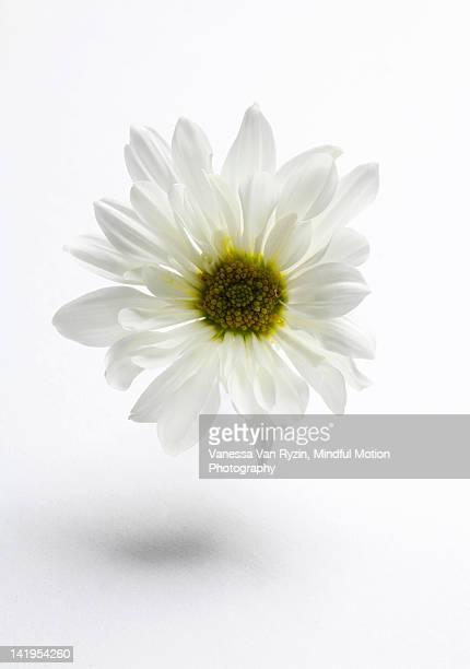 white flower - vanessa van ryzin ストックフォトと画像