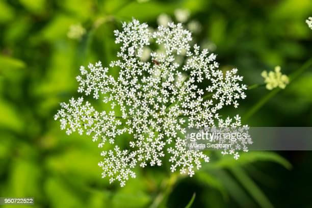 White flower, umbel bloom, Common Ground elder (Aegopodium podagraria), Isar, Upper Bavaria, Bavaria, Germany