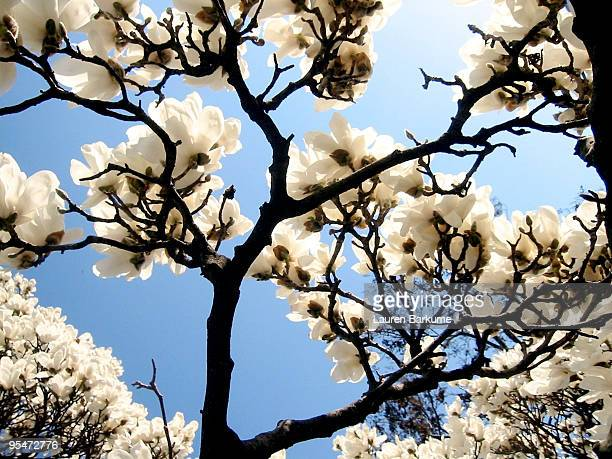 White Flowering Dogwood Tree From Below