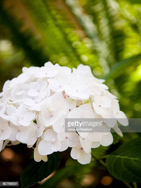white flowering plant - studio city stock pictures, royalty-free photos & images