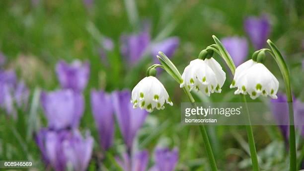 white flowers blooming outdoors - bortes cristian stock-fotos und bilder