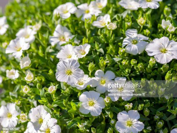 white flowers close up - bianco e nero stock pictures, royalty-free photos & images