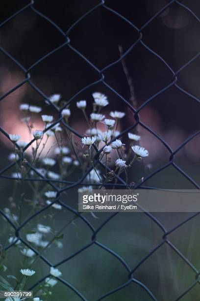 White Flowers Growing On Field Seen Through Chainlink Fence