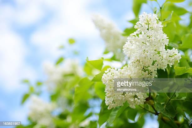 ホワイトの花ライラック - ライラック ストックフォトと画像