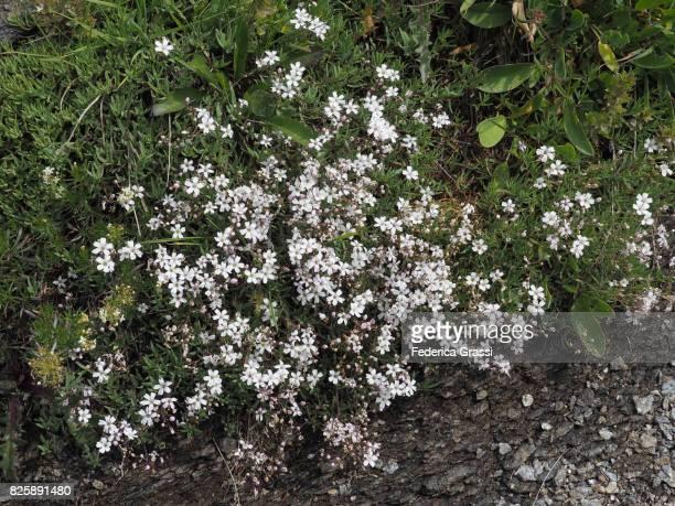 White flowers of Gypsophila repens (Creeping Baby's Breath), Alpe Veglia Natural Park