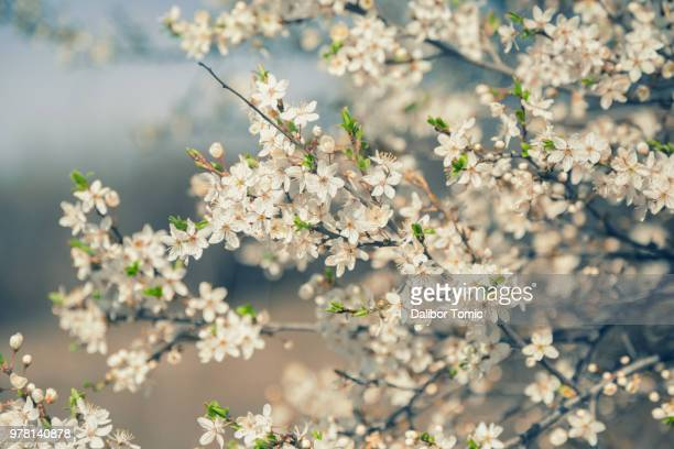 white flowers of plum tree - bloesem stockfoto's en -beelden
