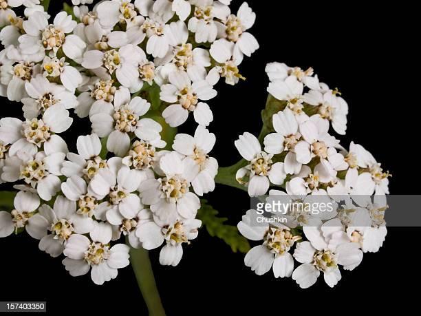 Millefeuille (Achillea millefolium