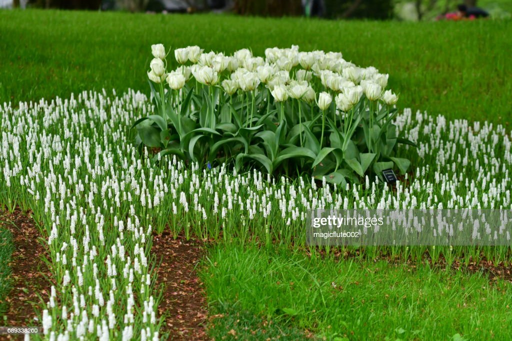 White Flowers of Tulip and Muscari (Grape Hyacinth) : Stock Photo