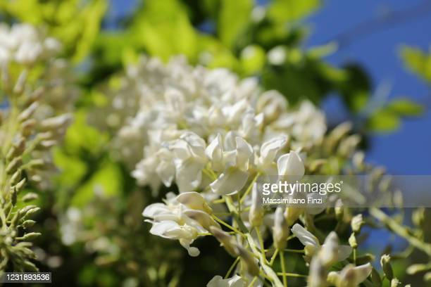 white flowers of wisteria floribunda f. alba also called white japanese wisteria - exotic_species stock pictures, royalty-free photos & images