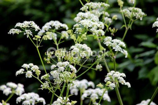 Plant with white flowers credainatcon white flowers on cow parsley plant stock photo thinkstock mightylinksfo