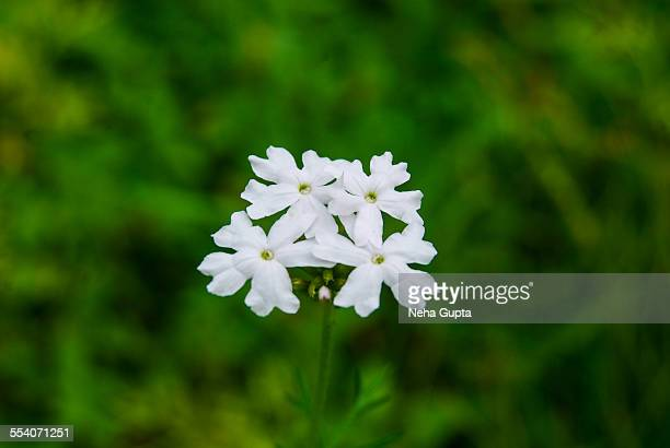 white flowers - neha gupta stock pictures, royalty-free photos & images