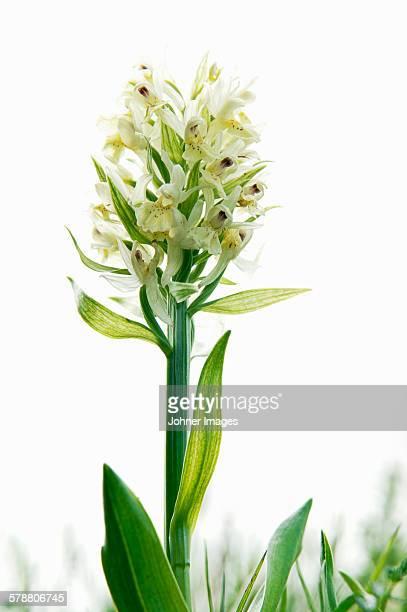 White flowers, studio shot