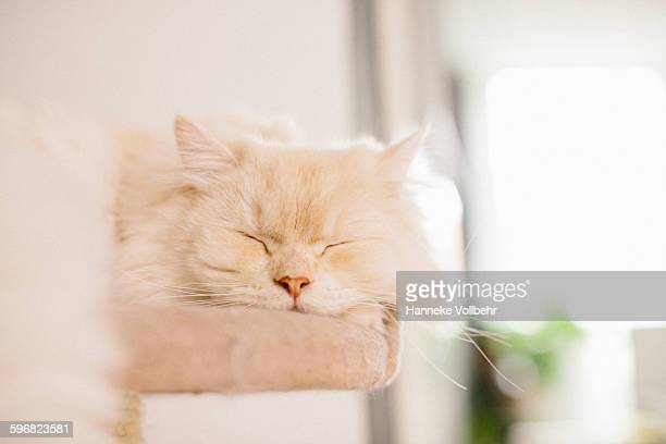 White fluffy cat sleeping