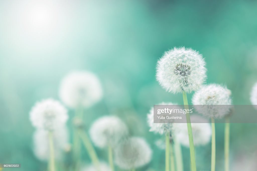 White fluffy dandelions, natural green blurred spring background, selective focus : Stock Photo