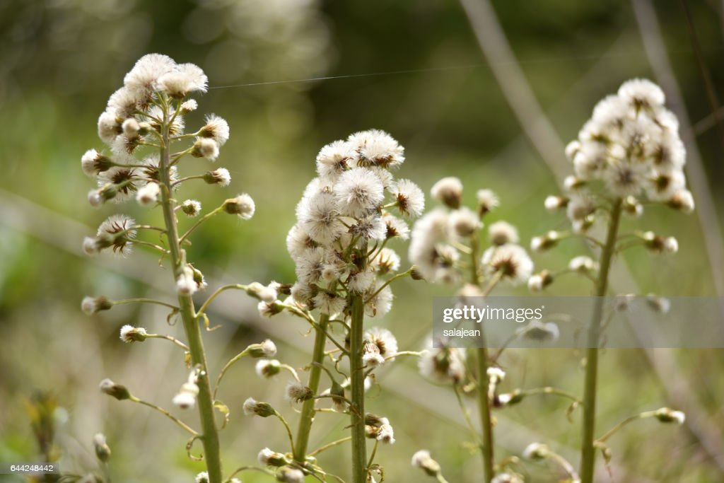 White fluffy flowers stock photo getty images white fluffy flowers stock photo mightylinksfo