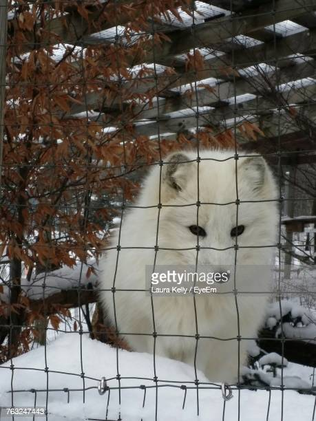 White Fox Seen Through Fence During Winter