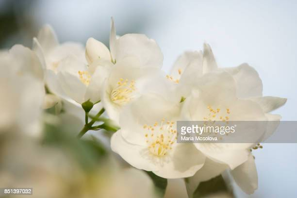 white fragrant flowers of mock orange - orange blossom stock photos and pictures