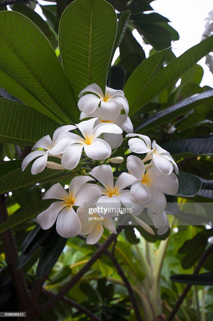 White frangipani : Stock Photo