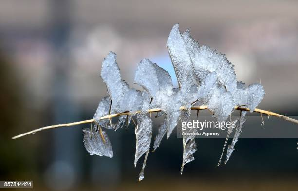 A white frost is seen on a branch of a tree during the autumn season at Cibiltepe Ski Center at an altitude of 6100 to 7200 feet in higher altitudes...