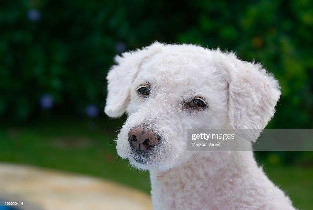 White Fur Poodle Dog : Foto de stock