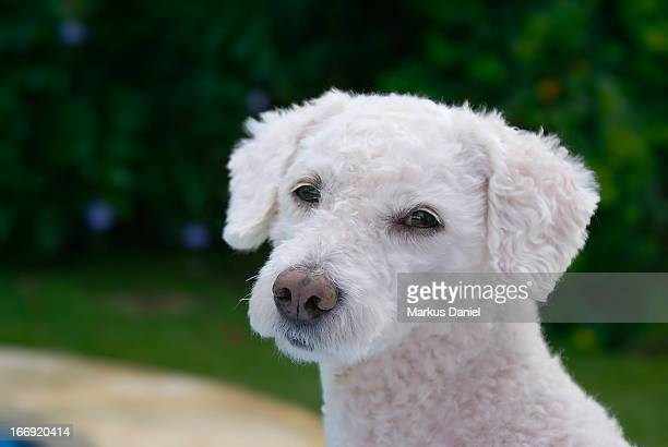 White Fur Poodle Dog