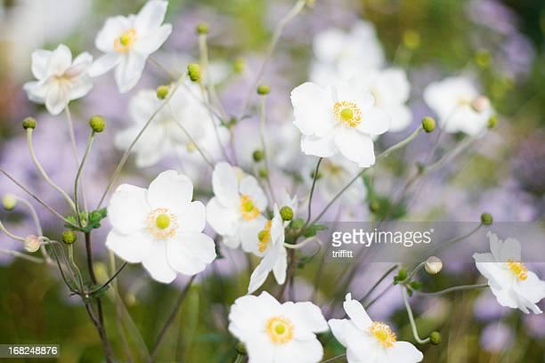 Weißen Anemonen Garten
