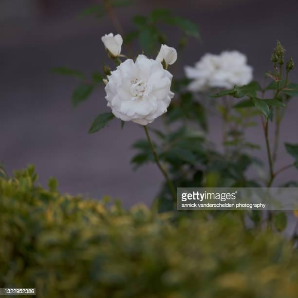 white garden roses - annick vanderschelden stock pictures, royalty-free photos & images