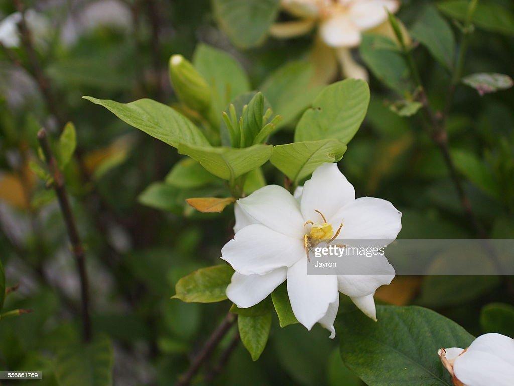 White Gardenia Flower Stock Photo Getty Images