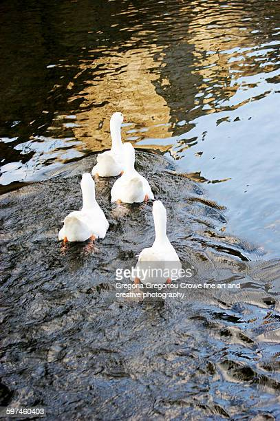 white geese in water - gregoria gregoriou crowe fine art and creative photography. fotografías e imágenes de stock