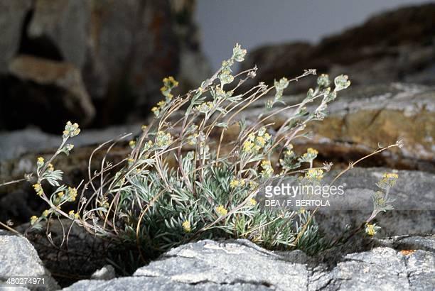 Genepi Fleur Photos Et Images De Collection