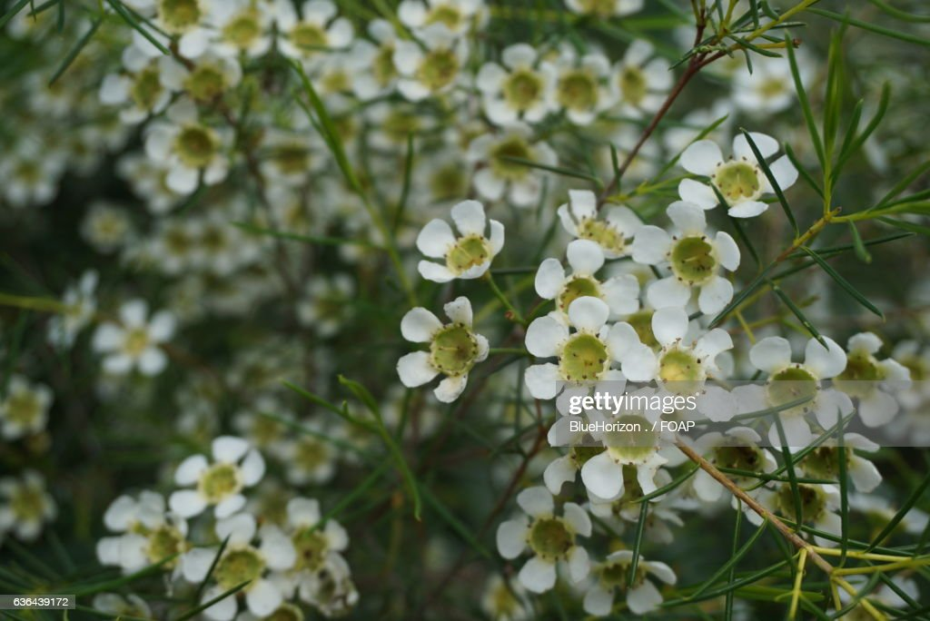 White Geraldton Wax Flowers Stock Photo Getty Images