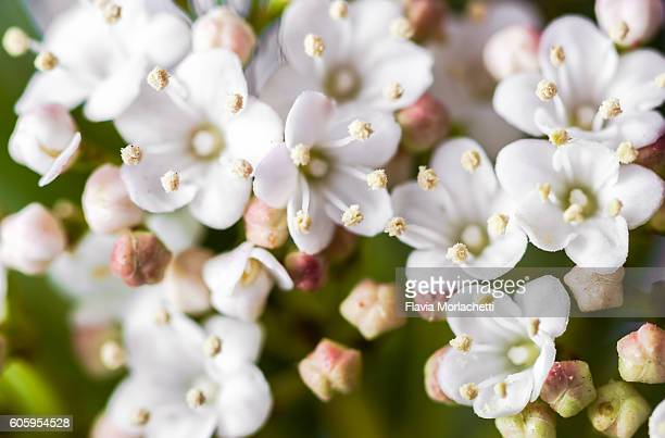 White Wax Flowers Stock Photos And Pictures