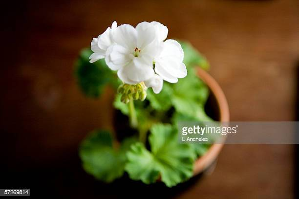 A white geranium photographed from above, close-up.