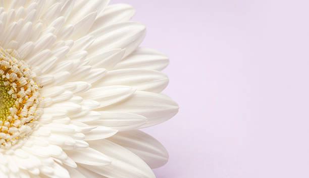 White Gerbera Daisy On Lavender Background. Wall Art