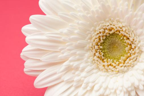 White gerbera daisy on pink background photos mightylinksfo