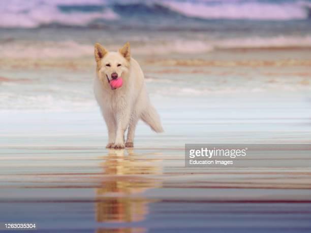 White German Shepherd dog at he beach, Gwithian, Cornwall, UK .